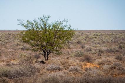 Mesquiet Tree